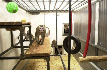 Macaque monkeys in research. CC UAR.