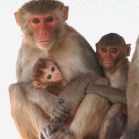 animal testing, monkey research