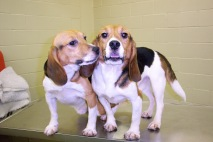 dog, animal testing, animal experiment