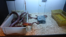 Corn snakes in enclosure. Image taken at King's College London