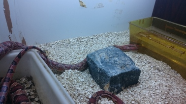 A corn snake gets a drink. Image taken at King's College London.