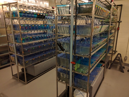 Racks of zebrafish at the University of Ottawa