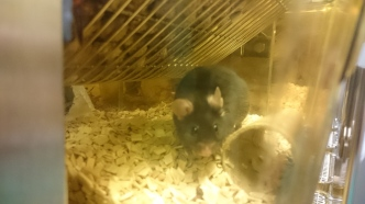 A mouse at in a research facility. Image taken at King's College London
