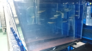Zebrafish in a tank. Image from King's College London.