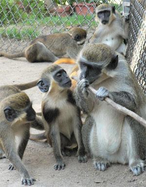 Vervey Monkeys 2