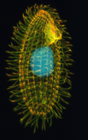 Tetrahymena: Ciliate Genome Sequence Reveals Unique Features of a Model Eukaryote