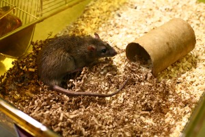 Studies in rats are playing a key role in stem cell medicine. Image courtesy of Understanding Animal Research.