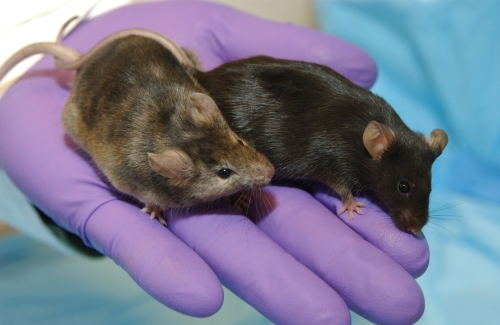 animal research, knockout mouse