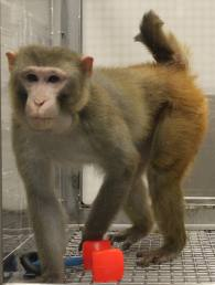 Rhesus macaques play a key role in brain research...