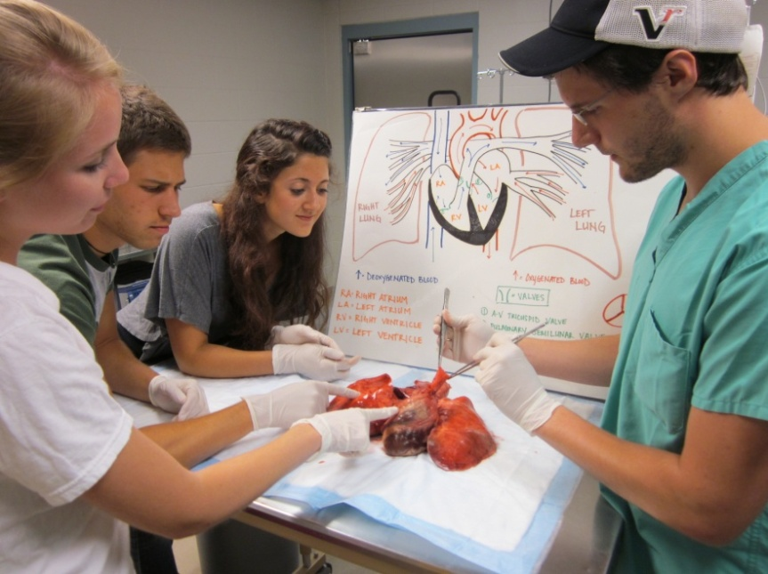 Heart-lung blocks are saved from euthanized animals from previous studies and used to teach anatomy and physiology.