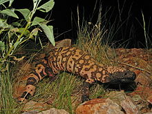 The Gila monster - an unlikely ally in the fight against diabetes. Image courtesy of Jeff Servoss