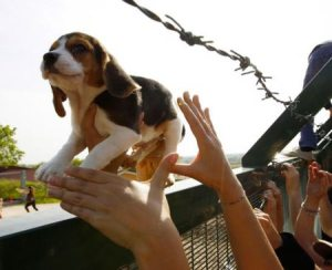 "Beagles were ""liberated"" from Green Hill in Italy in full view of police"