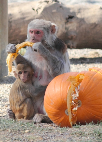 Macaques are common in neuroscience. Image Credit: CNPRC/Speaking of Research
