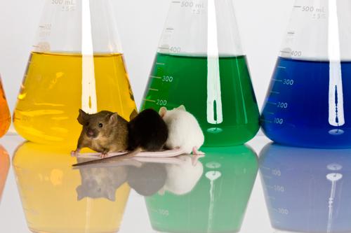 Laboratory Mice animal testing
