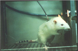 Rat Rodent Addiction Animal Testing Research