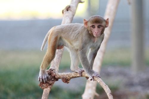 primate monkey animal testing