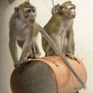 Macaque monkeys were key to Newcastle University paralysis breakthrough. Image: Understanding Animal Research
