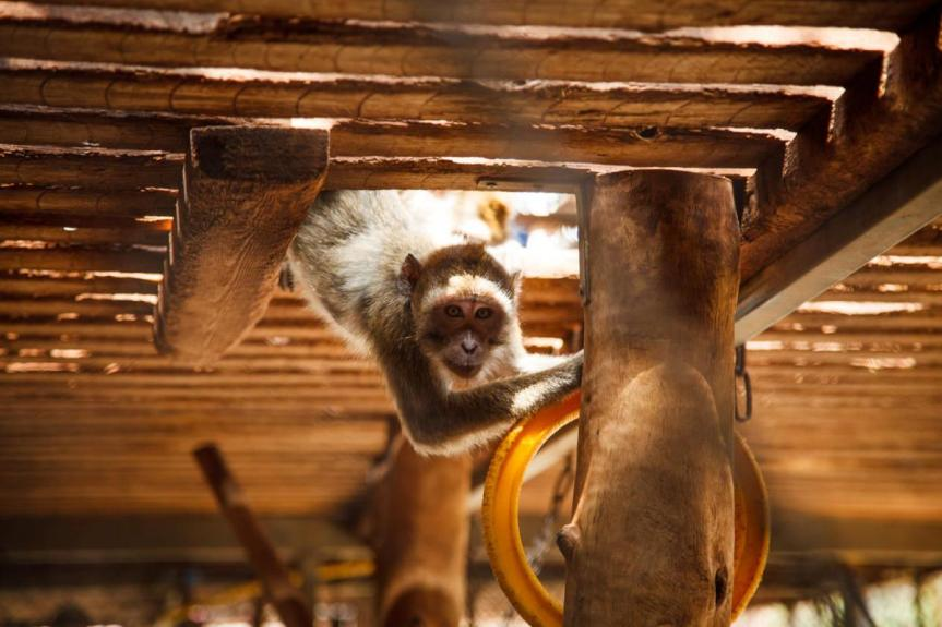 monkey animal experiment playing