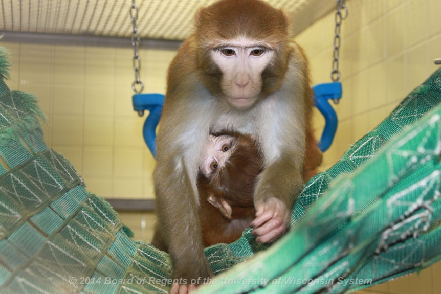 Mother and infant rhesus monkeys
