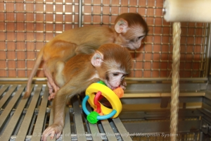 Infant rhesus monkeys playing in nursery.  Wisconsin National Primate Research Center. @2014 University of Wisconsin Board of Regents