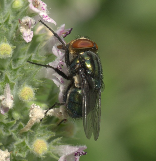 Screwworm Fly