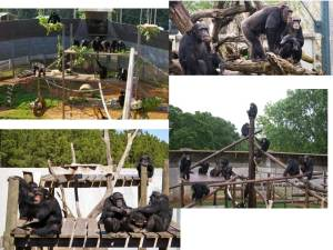 Chimpanzees in research, zoo, and sanctuary facilities