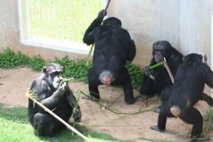 Bastrop chimps tool use