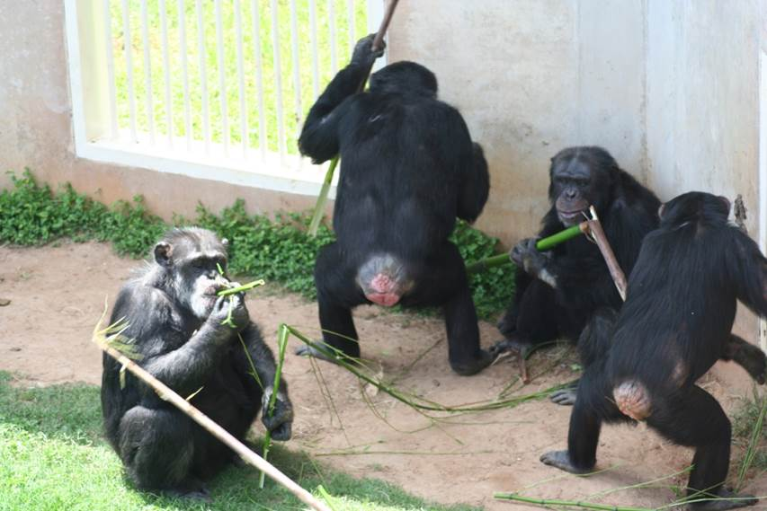 Chimpanzees using tools at NCCC