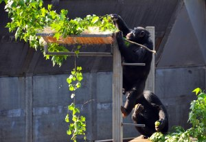 Chimpanzees 2