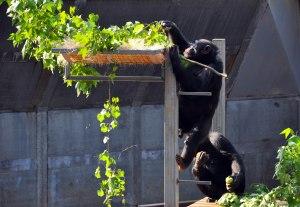 Chimpanzees 2