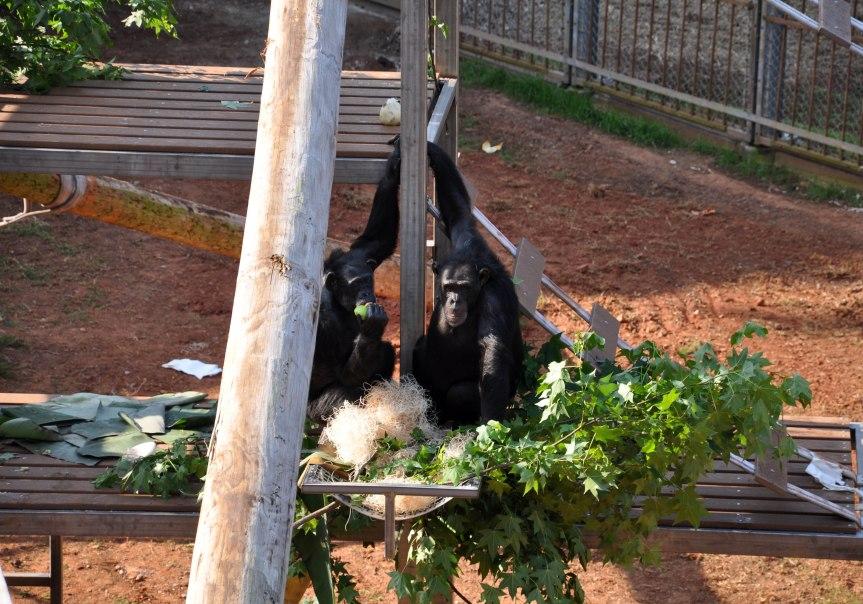 Yerkes chimpanzees