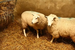 Studies in sheep play a key role in the development of gene therapy for cystic fibrosis