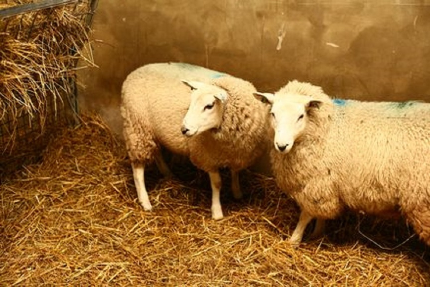 Stock image of sheep in research (in the UK) by Understanding Animal Research.