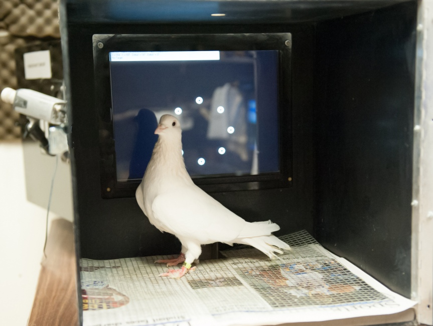 Pigeon in a test of comparative cognition.