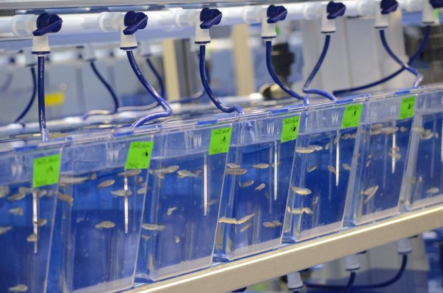 Zebrafish tanks at Dalhousie University Medical School. Image: Cory Burris