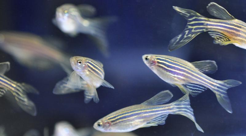 Zebrafish: Wellcome Trust Sanger Institute