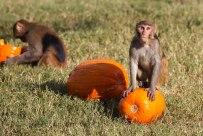 Macaque. Kathy West. CNPRC. 1
