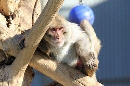 Macaque. Photo credit: Kathy West. CNPRC. 11