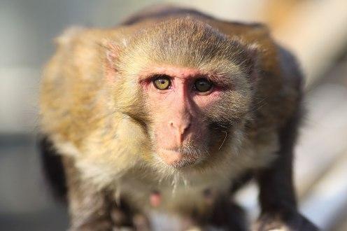Macaque. Kathy West. CNPRC.