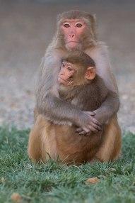 Macaque. Kathy West. CNPRC. 14