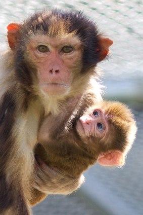 Macaque. Kathy West. CNPRC. 15