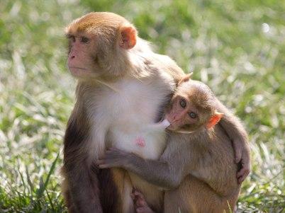Macaque. Kathy West. CNPRC. 16