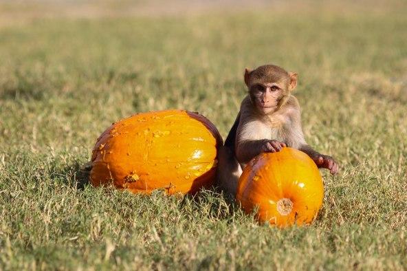 Macaque. Kathy West. CNPRC. 2