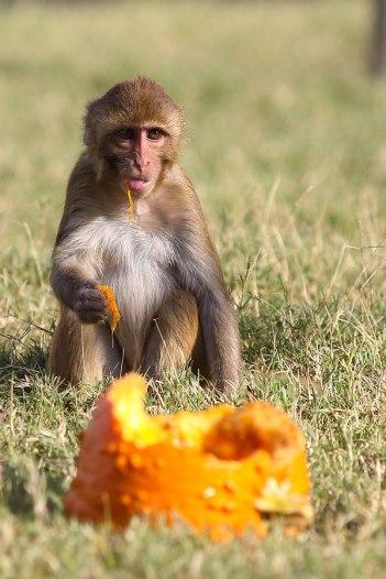 Macaque. Kathy West. CNPRC. 3