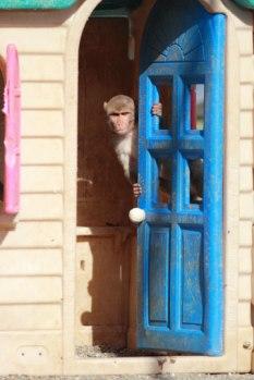 Macaque. Kathy West. CNPRC. 4