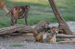 Macaque. Kathy West. CNPRC. 5