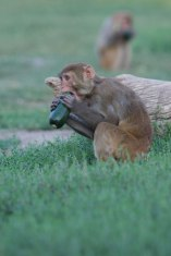 Macaque. Kathy West. CNPRC. 6