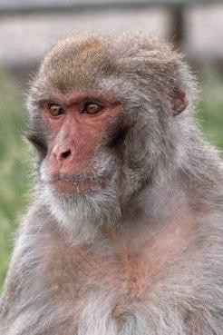 Macaque. Kathy West. CNPRC. 7