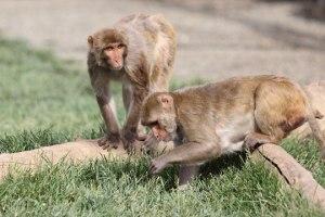 Macaque. Photo credit: Kathy West. CNPRC.
