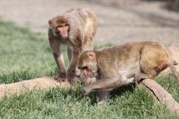 Macaque. Kathy West. CNPRC. 8